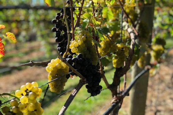 Maple Valley Vineyards